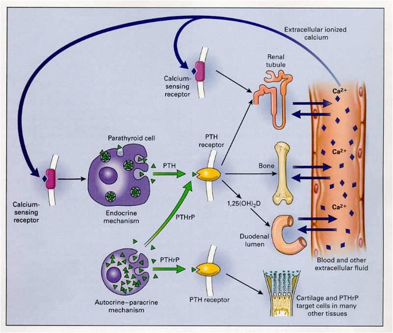 Calcium Parathyroid Hormone Vitamin D